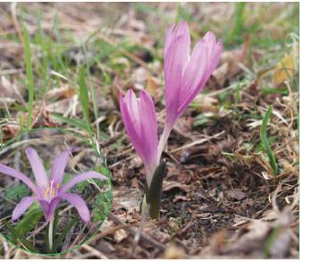 Bulbocodium versicolor (Ker Gawl.) Spreng. (B. ruthenicum Bunge, B. vernum L. subsp. versicolor (Ker Gawl.) K. Richt., Colchicum versicolor Ker Gawl.)