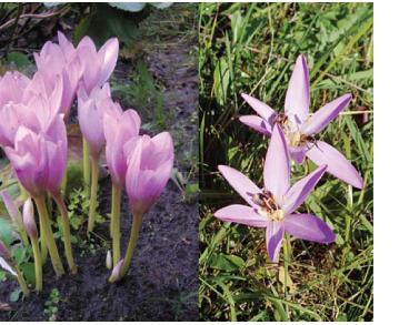 Пізньоцвіт осінній (Colchicum autumnale L. (Bulbocodium autumnale (L.) L.))