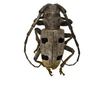 Морімус темний (Morimus funereus (Mulsant, 1863))