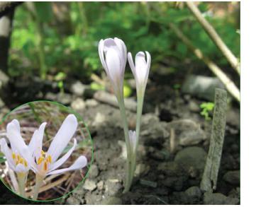 Colchicum umbrosum (Ker Gawl.) Steven (C. arenarium Waldst. et Kit. var. umbrosum Ker Gawl.)
