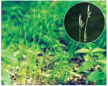 Осока белая (Carex alba Scop.)