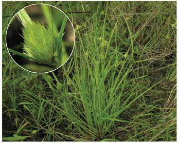 Осока богемская (Carex bohemica Schreb. (C. cyperoides Murr.))