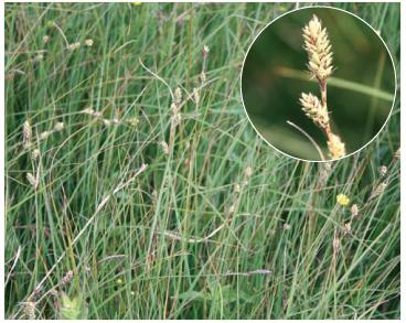 Осока Буксбаума (Carex buxbaumii Wahlenb. (C. polygama Schkuhr, non J.F.Gmel.))