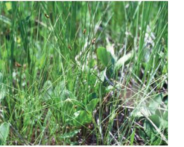 Осока струннокорневищная (Carex chordorrhiza Ehrh.)