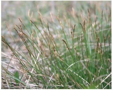 Осока Дэвелла (Carex davalliana Smith (Vignea davalliana (Smith) Rchb.))
