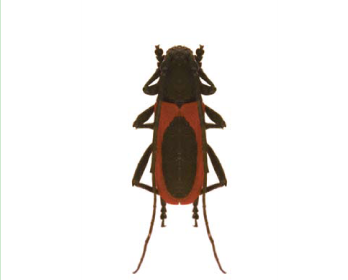 Вусач-червонокрил Келлера (Purpuricenus kaehleri  (Linnaeus, 1758))