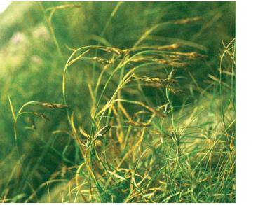 Осока темно-бура (Carex fuliginosa Schkuhr)