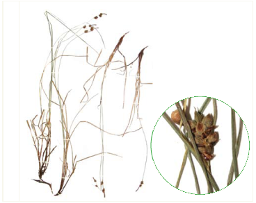 Осока шариконосная (Carex globularis L.)