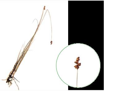Осока торфова (Carex heleonastes Ehrh. (Vignea heleonastes (Ehrh. ex L.f.) Rchb.))