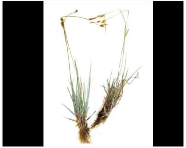 Carex hostiana DC. (C. hornschuchiana Hoppe)