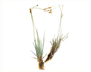 Осока Хоста (Carex hostiana DC. (C. hornschuchiana Hoppe))