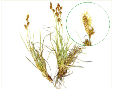 Осока блискуча (Carex liparocarpos Gaud. (C. nitida Host, C. bordzilowskii V.Krecz.; C. liparocarpos Gaud. subsp. bordzilowskii (V.Krecz.) T.V.Egorova))