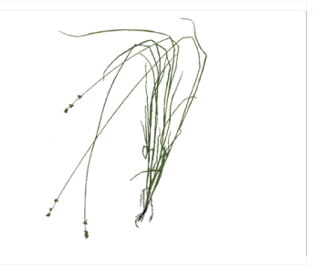 Осока пажитницеподібна (осока пажитницева) (Carex loliacea L.)