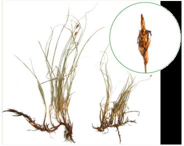 Осока притуплена (Carex obtusata Liljebl.)