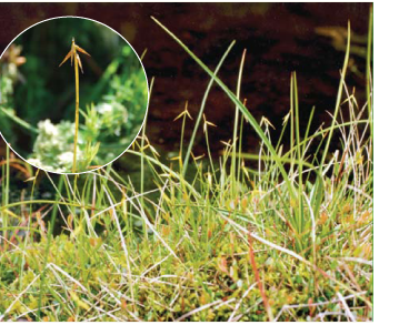 Осока малоквіткова (Carex pauciflora Lightf.)