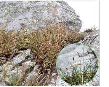 Осока скельна (Carex rupestris All. (C. petraea Wahlenb.))