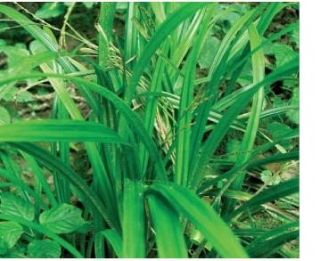 Осока щетиниста (Carex strigosa Huds.)