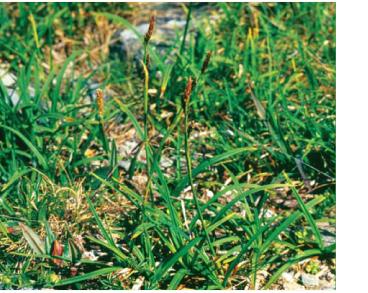Осока піхвова (Carex vaginata Tausch)