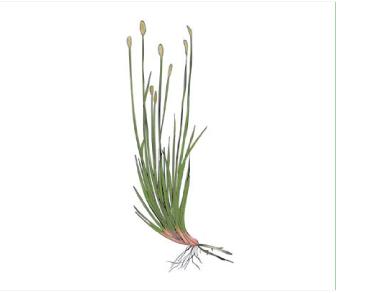 Ситняг многостебельный (Eleocharis multicaulis (Smith) Desv.)