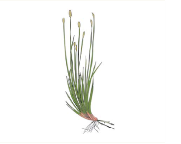 Ситняг багатостебловий (Eleocharis multicaulis (Smith) Desv.)