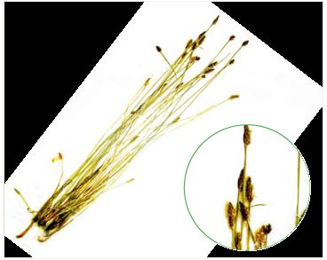 Ситняг гостролусковий (Eleocharis oxylepis (Meinsh.) B. Fedtsch. (Scirpus oxylepis Meinsh.))
