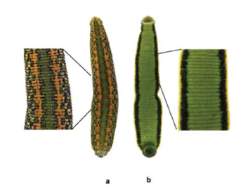 П'явка аптечна (Hirudo verbana Carena, 1820)