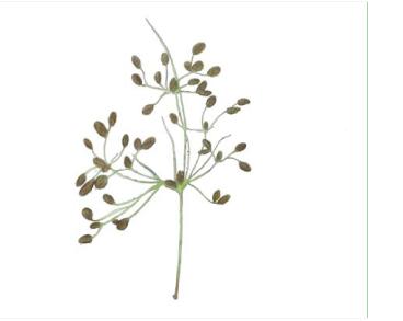 Комишник двороздільний (комишник двозонтиковий) (Fimbristylis bisumbellata (Forssk.) Bubani (F. dichotoma auct. non (L.) Vahl) Scirpus bisumbellatus Forssk.)
