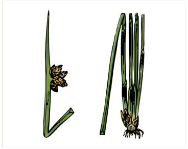 Куга гострокінцева (Schoenoplectus mucronatus (L.) Palla (Scirpus mucronatus L.))