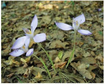 Шафран банатский (Crocus banaticus J. Gay (C. iridiflorus Heuff. ex Rchb.))