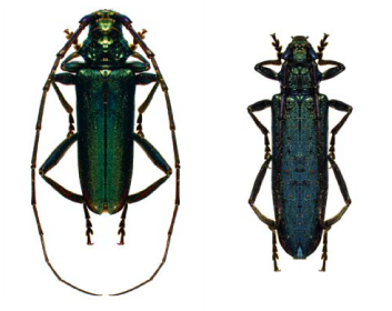 Вусач мускусний (Aromia moschata (Linnaeus, 1758))