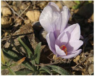 Шафран Палласа (Crocus pallasii Goldb. (C. autumnalis Pallas ex M.Bieb. 1808, non Poir. 1804; C. pallasianus Herb.))