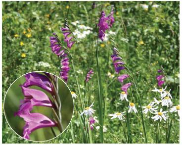 Косарики черепитчасті (Gladiolus imbricatus L.)