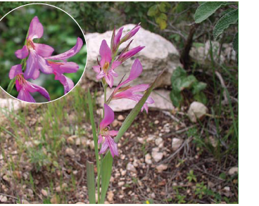 Косарики італійські (Gladiolus italicus Mill. (G. segetum Ker Gawl.; G. tenuiflorus K.Koch))