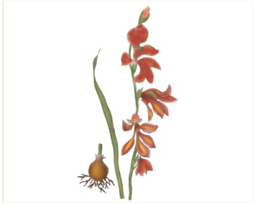 Косарики болотні (Gladiolus palustris Gaudin)