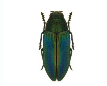 Златка блестящая (Buprestis splendens (Fabricius, 1774))