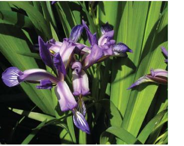 Касатик ложносытевый (Iris pseudocyperus Schur (I. graminea L. subsp. pseudocyperus (Schur) Soó; I. graminea var. latifolia Spach))
