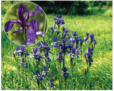 Півники сибірські (Iris sibirica L.)