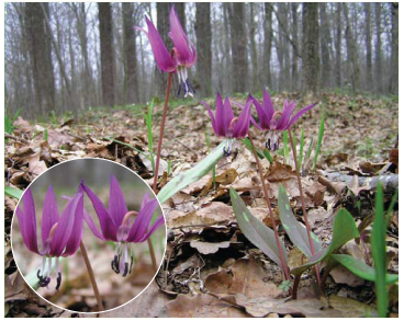 Erythronium dens-canis L. (E. dens-canis L. subsp. albiflorum Kricsf., E. maculatum DC.)