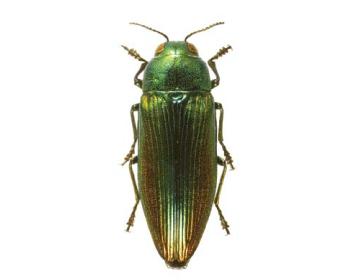 Евритірея золотиста (Eurythyrea aurata (Pallas, 1776))
