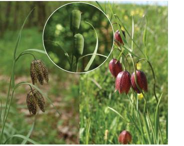 Рябчик гірський (Fritillaria montana Hoppe (F. orientalis auct. non Adam))