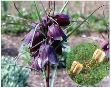 Рябчик русский (Fritillaria ruthenica Wikstr.)