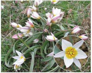 Тюльпан двоквітковий (Tulipa biflora Pall. (T. koktebelica Junge, T. callieri Halácsy et Levier))