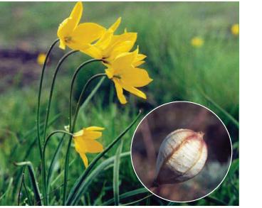 Тюльпан гранітний (Tulipa graniticola (Klokov et Zoz) Klokov (~ T. biebersteiniana Schult.f. s.l.))