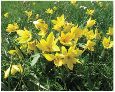 Tulipa scythica Klokov et Zoz (~ T. biebersteiniana Schult.f. s.l.)