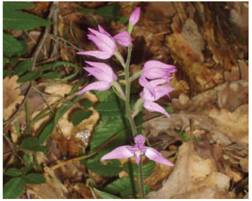Пыльцеголовник красный (Cephalanthera rubra (L.) Rich. (Serapias rubra L.))