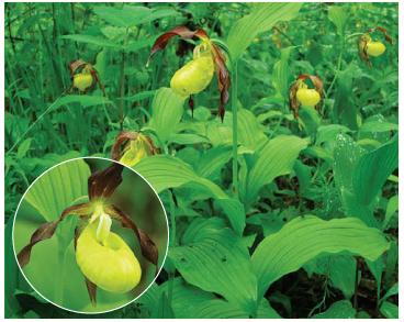 Зозулині черевички справжні (Cypripedium calceolus L.)