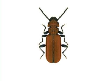 Плоскотелка красная (Cucujus cinnabarinus (Scopoli, 1763))