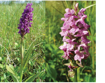 Зозульки плямисті (пальчатокорінник плямистий) (Dactylorhiza maculata (L.) Soό s.l. (Orchis maculata L.))