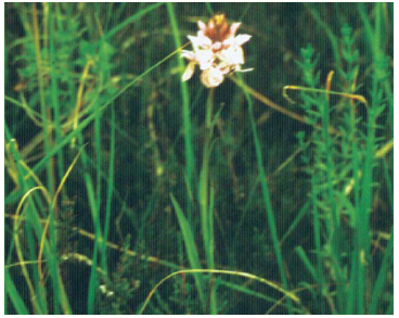 Dactylorhiza traunsteineri (Saut. ex Rchb.) Soó (D. majalis auct. non (Rchb.) P.F.Hunt et Summerhayes, p.p., D. russowii auct. non (Klinge) Holub, Orchis traunsteineri Saut. ex Rchb.)