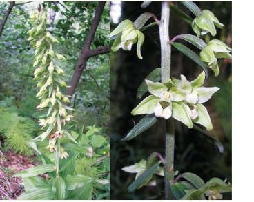 Коручка чемерникоподібна (коручка широколиста) (Epipactis helleborine (L.) Crantz (E. latifolia (L.) All.))